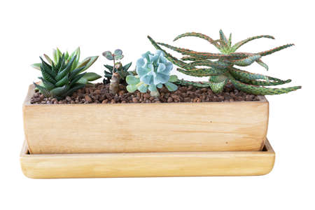 succulents planted in ceramic pot , isolated over white background