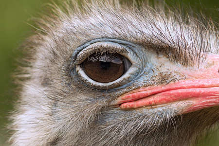 detail of common ostrich head (Struthio camelus)