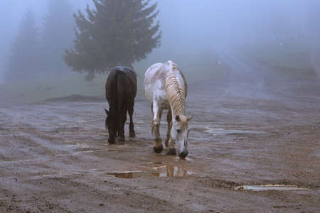 two feral horses in Apuseni mountains, Romania, in a foggy cold day
