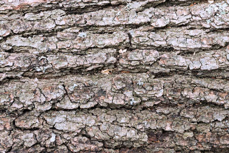 old tree bark texture, natural real backdrop for your design