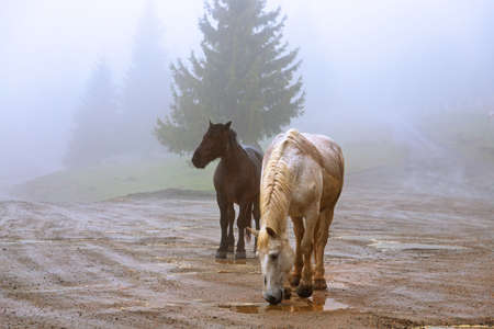 horses in a foggy day in Marisel, Apuseni Natural Park Standard-Bild