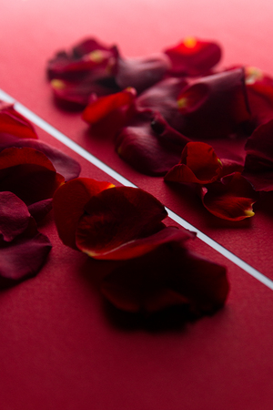 wallpaper International Women s Day: Rose petals in red with a white stripe