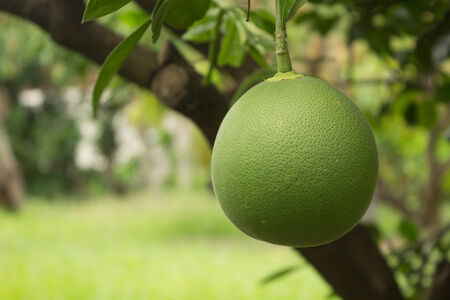 pummelo: Pomelo growing on the tree  Stock Photo