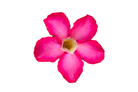 Isolated impala lily flower on white background photo