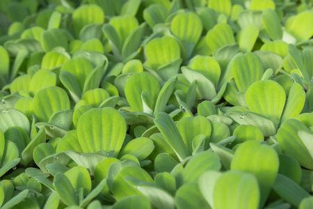 duckweed: duckweed as texture or background Stock Photo