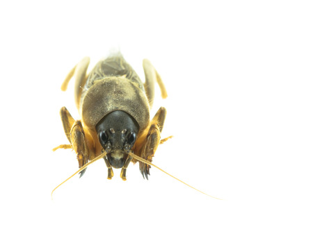 mole: A mole cricket isolated over white background Stock Photo