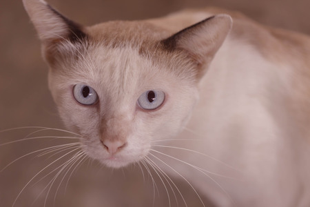 siamese: Eyes of the siamese cat