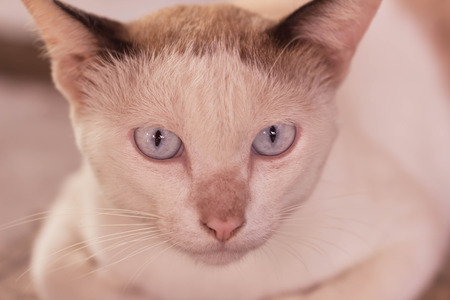 siamese cat: Eyes of the siamese cat