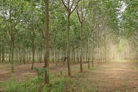 tree plantation: photo of rubber tree plantation Stock Photo