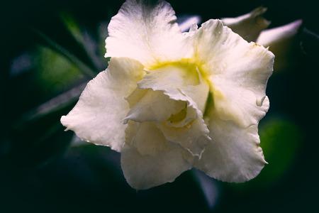 Closeup of white azalea flower Banque d'images