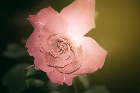 Closeup of pink rose flower,Nature backgrounds
