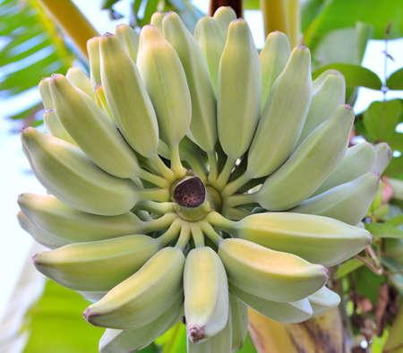 Banana  on a bunch.Beautiful texture.