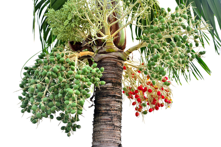red betel palm on the branch White background