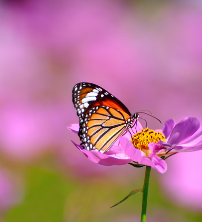 Close up of butterfly on pink cosmos flower blurred background Stock Photo