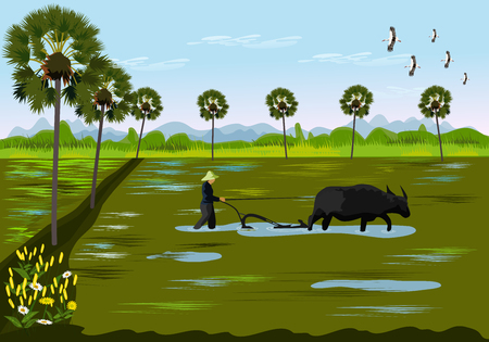 Farmers are digging the soil using buffalo in rice fields. With palm trees and mountains as the background