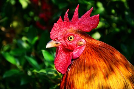 Close up of bantam Head with group leaves background