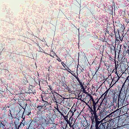 chaingmai: Sakura in winter at Doi Kunwang, Chaingmai , Thailand. Vintage filter.