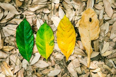 lifecycle: Conceptual de la vida, el ciclo de nacimiento y muerte. Naturaleza hoja fresca y hoja seca en el suelo en el bosque.