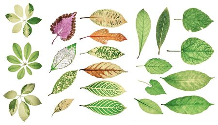 pastel tone: Collection of garden green leaves on white background. Soft color or pastel tone.