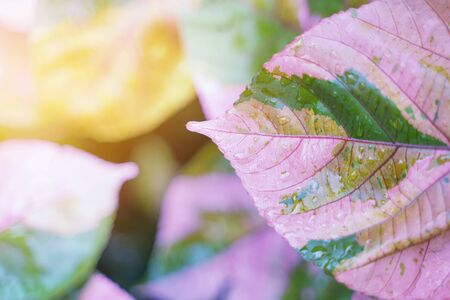 Pink leaf with rain drop and sunlight. Fresh nature background. 写真素材