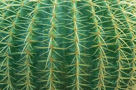 Abstract background from close-up of cactus with thorns pattern. Green nature backdrop. Plant and agriculture.