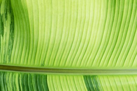 Closeup of green banana leaf texture with sunlight. Abstract nature background.