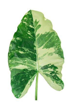 Variegated caladium leaf in white background.