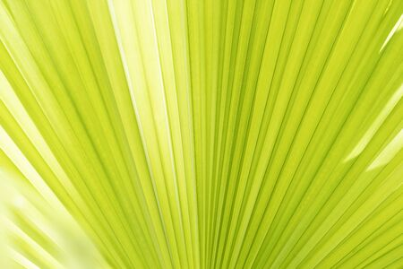 Abstract background from closeup of palm leaf texture with sunlight. Nature backdrop.