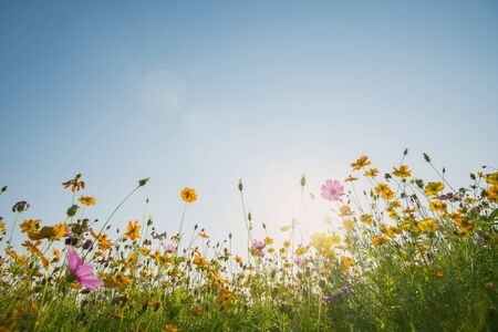 Colorful cosmos flowers field with blue sky and sunlight. Fresh natural background.