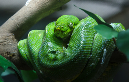python: Green tree python in the zoo