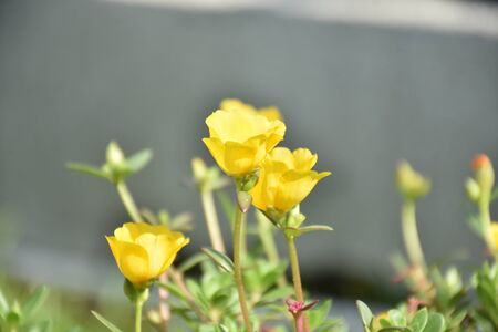 Close up Common Purslane photo