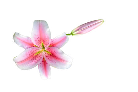 white lilly: Lilly flower isolated white background Stock Photo