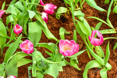 close up: pink tulips close up background Stock Photo