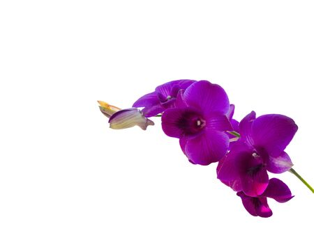 Purple Orchid flower isolated on white background. 版權商用圖片