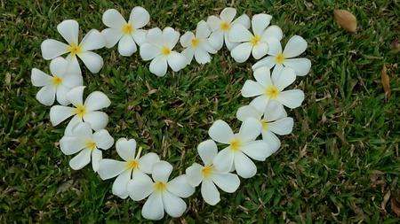 beautifull: Beautifull plumeria