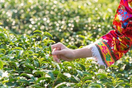 Farmer picking tea leave in the terraced tea fields. two woman collecting some green tea leaf.Tea is traditional drink in some country at asia as japan, Thailand, vietnam, china, korea, Sri Lanka.