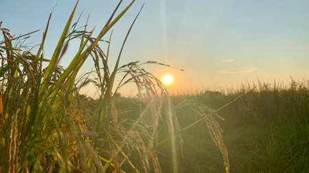 rice field in Beautiful sunrise ready-to-harvest ears of rice, paddy rice in field is nature food background