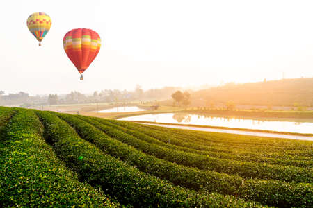 The green tea field in the morning and colorful balloons floating in the beautiful sky, natural backgrounds.
