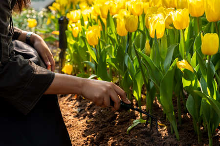 woman hands tilling the soil, preparing it for planting flowers with gardening tools, Spring concept background.Tulips and garden tools (Rake, spade, hoe, gloves) Stockfoto