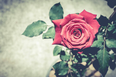 Red rose with vintage filter effect photo