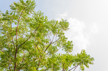 indica: Azadirachta indica tree Stock Photo