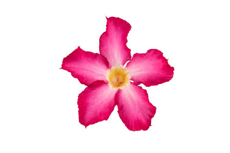 Desert Rose flower isolated on white background photo