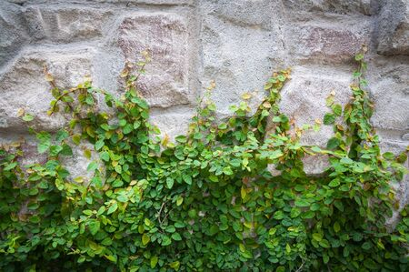 creeping fig: Green ivy on stone wall.