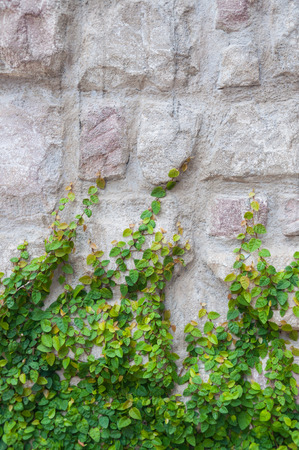 Green ivy on stone wall.