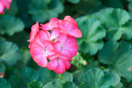 Beautiful pink Geranium in the garden.