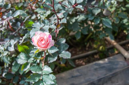 Pink rose in the garden. Stock fotó