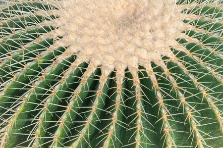 Close up view of Echinocactus grusonii.