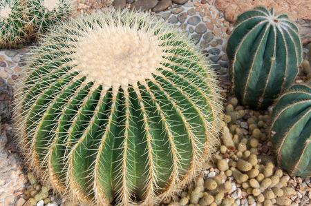 Echinocactus grusonii in the garden. Stock fotó