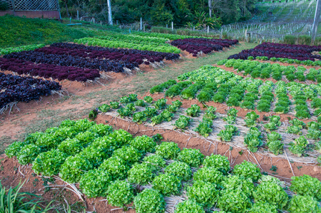 Vegetable cultivation.