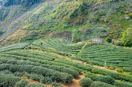 Tea plantation in mountain view. Banco de Imagens